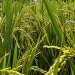 Rice Suppliers and Manufacturers