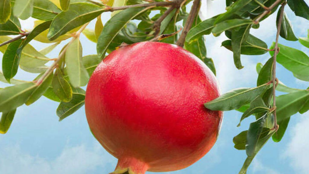 pomegranate extract supplier
